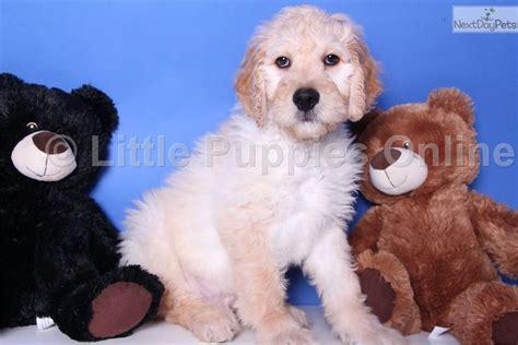 goldendoodle central ohio goldendoodle puppy for sale near columbus ohio 4df11b50