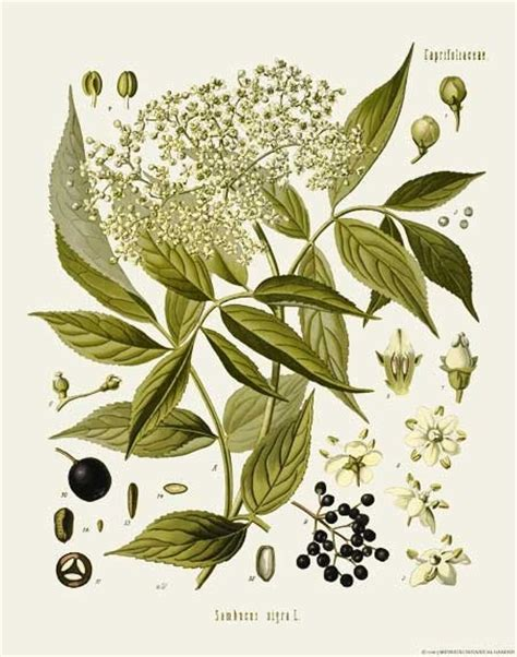 59 best herb botanical prints and illustrations 59 best herb botanical prints and illustrations