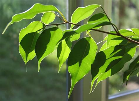 Ficus Benjamin Secco by Ficus Ficus Come Curare I Ficus