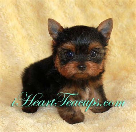teddy bear cut for teacup yorkie white teacup yorkie puppies sale