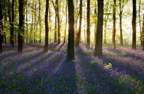 bluebell forest uk119 bluebells bloom at sunrise dockey wood ashridge forest united kingdom slides img