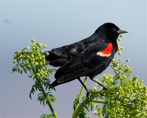 tri colored blackbird race report pacific crest triathlon 2011