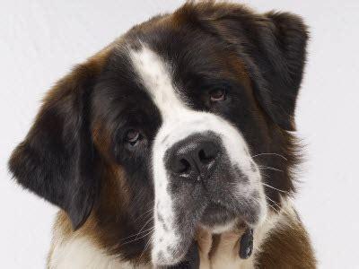 beethoven puppies steps he s a mastiff not a st bernard