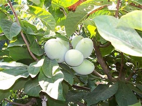 nc fruit trees pawpaw asimina triloba tree seeds