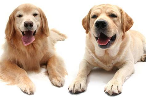 golden retriever original breed golden retriever related breeds dogs in our photo