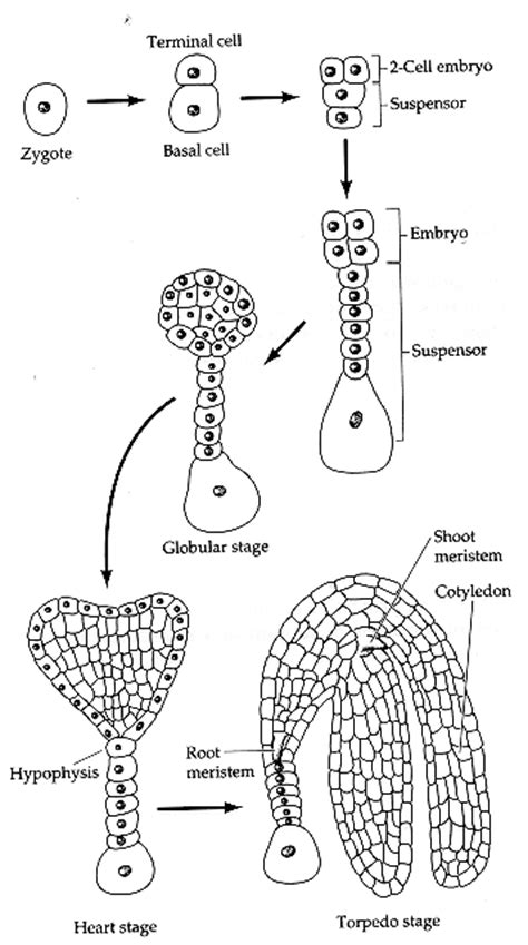 pattern formation during embryonic development is based on chapter 12a plant development