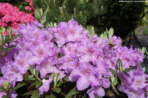 flowering evergreen shrubs zone 7 rhododendron lavendula havlis cz
