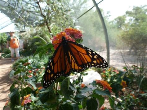 Butterfly Exhibit Botanical Gardens Butterfly In Exhibit Picture Of Desert Botanical Garden Tripadvisor