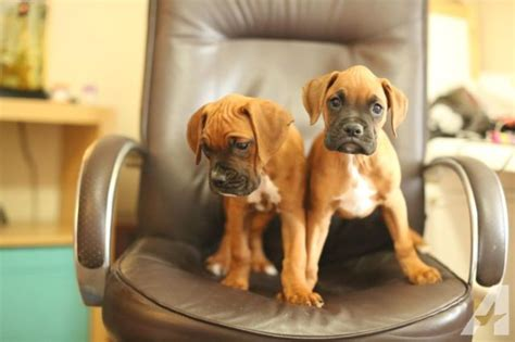 boxer puppies for sale seattle beautiful boxer puppies for sale in seattle washington classified americanlisted