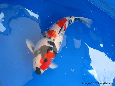 new year meaning of fish what meaning of koi fish in new year 28 images what