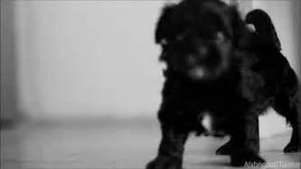 shih tzu gif shih tzu puppy gifs wifflegif