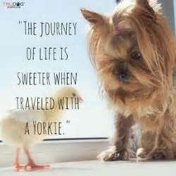 do yorkies dew claws pictures of registered yorkie