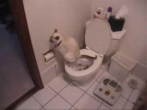 how to your to potty in the toilet how to potty your cat funnycat tv