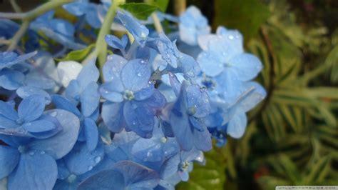 wallpaper blue hydrangea hydrangea flowers wallpaper 832781