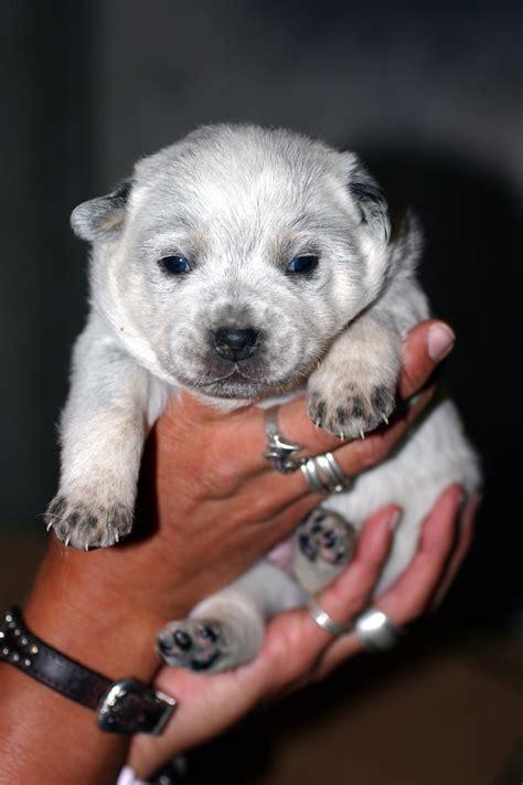 dogs for sale utah blue heelers utah