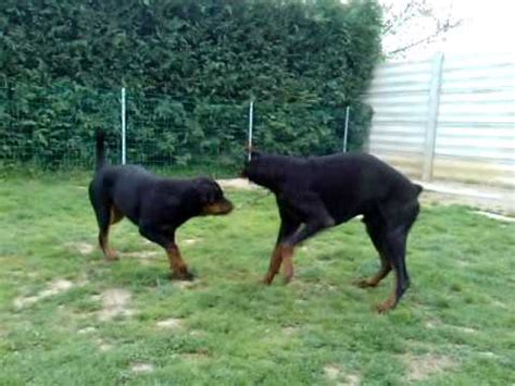 compare rottweiler and doberman dobermann vs rottweiler 2