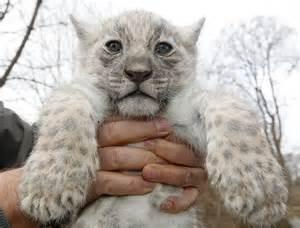 Pictures Of White Jaguars White Jaguar Cubs Born