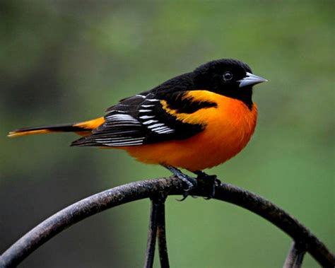 picture of a oriole bird oriole bird photos