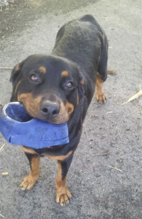 rottweiler rescue in florida rottweiler rescue florida breeds picture