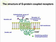 ENDOCRINE PHYSIOLOGY. - ppt download G Protein Coupled Receptors Diagram
