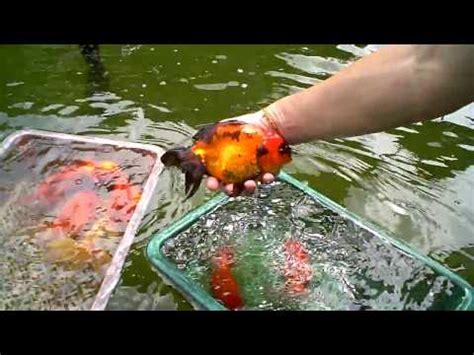 selecting goldfishes youtube
