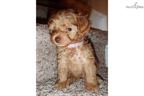 yorkies for sale in jacksonville nc yorkiepoo yorkie poo puppy for sale near jacksonville carolina ac88a4ab 6b41