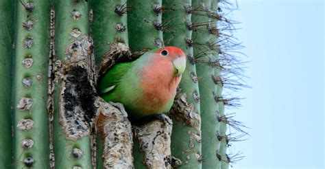 mexicanlove bird faced lovebirds in az parrots in cactus roads less traveled