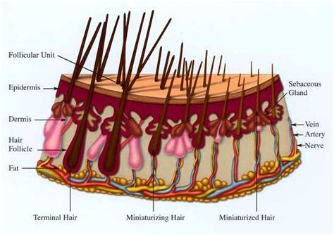 how to strengthen hair follicles in females 40 hair biology how does hair develop