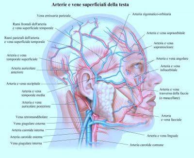 arteria mascellare interna ossa cranio