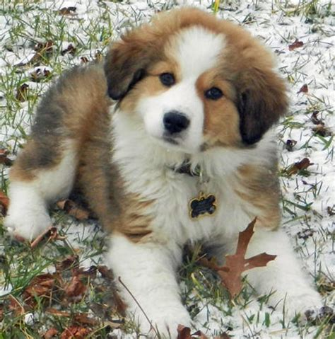 pyrenees mix puppies rigby the great pyrenees mix puppies daily puppy