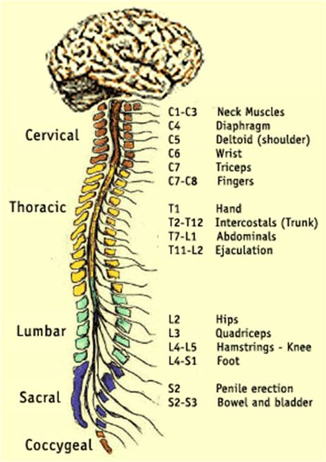 section of the spine spinal cord someone somewhere