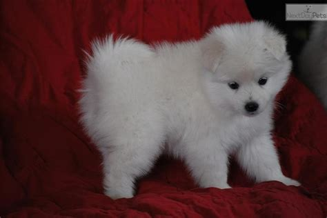teacup american eskimo puppies for sale american eskimo american eskimo club of america american breeds picture