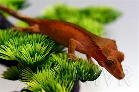 gecko change color crested gecko morph guide colors morphs and traits