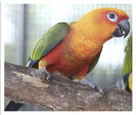 jenday conure 125898 for sale in miami fl