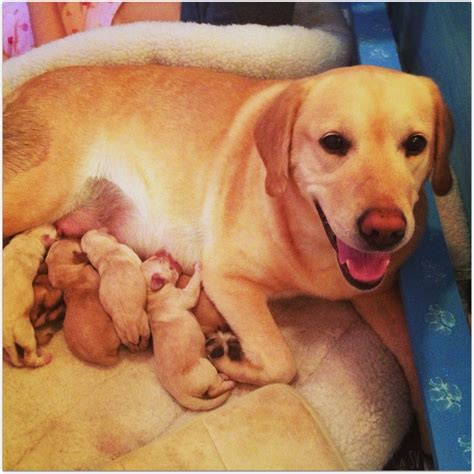 golden retriever puppies for sale scotland 2017 mini golden labrador retriever puppies for sale puppies pictures