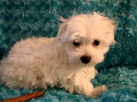 cheap yorkie puppies for sale in los angeles poodle pom puppies for sale in los angeles ca new york ny breeds picture