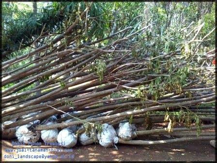 Bibit Trembesi bibit pohon trembesi jual tanaman hias