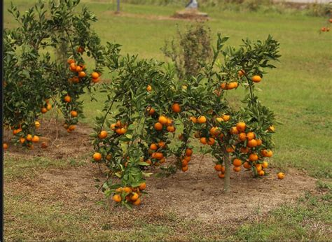 fruit trees in alabama disease infected insect that kills citrus trees found in