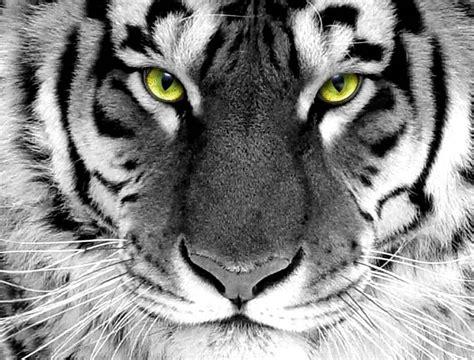 wallpaper animasi tiger harimau putih dam background