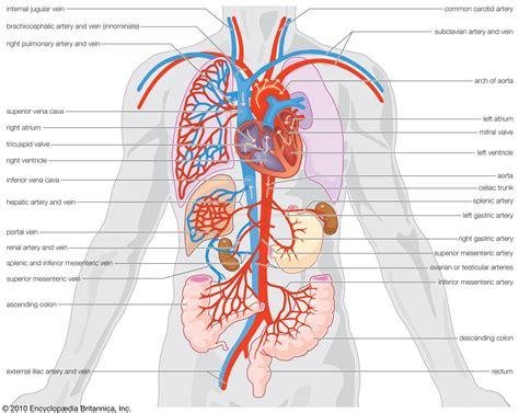 diagram of veins arteries and veins diagram for jugular vein human