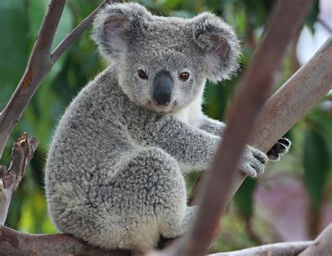 imagenes bellas de koalas koalas quot wildlife quot pinterest el koala koalas y viva la