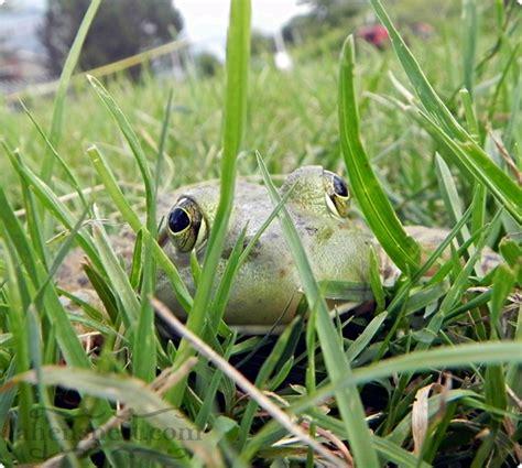frogs in my backyard frogs in my backyard 28 images a frog in the backyard hunter valley backyard