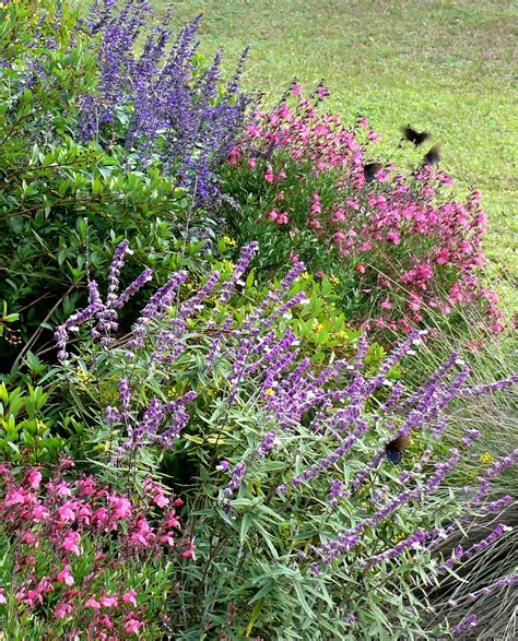 salvias are a plant for all seasons