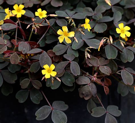 Oxalis by Oxalis Spiralis Vulcanicola Buy Online At Annie S Annuals