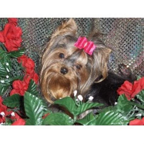 yorkie rescue kansas terrier yorkie breeders in maryland freedoglistings breeds picture