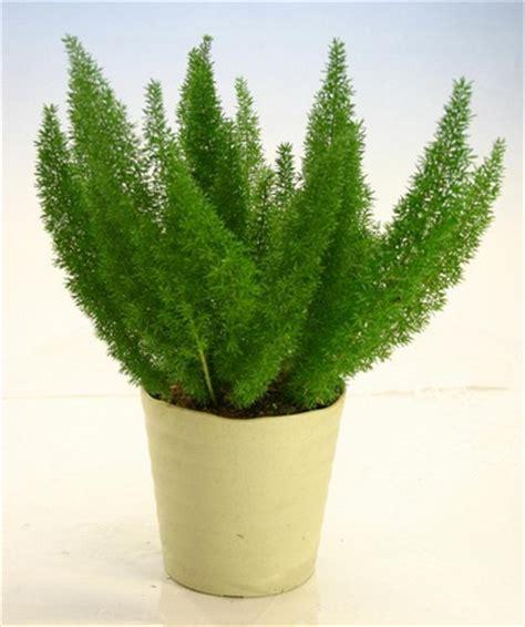 tanaman ekor tupai pendek bibitbunga