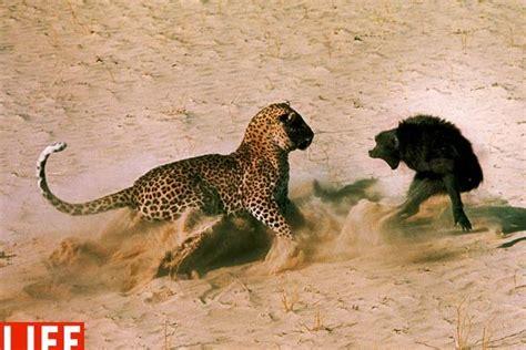 animals fighting bloodthirsty wild animal best blog animal planet wild