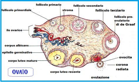 apparato genitale femminile interno ovaio anatomia fertilitycenter