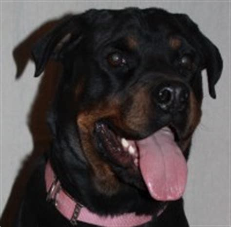 rottweiler rescue new mexico rottweiler puppies and dogs for sale adoption in new mexico freedoglistings