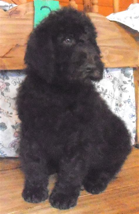 newfoundland poodle mix puppies best newfypoo puppies newfoundland poodle mix call newfypoo puppies breeds picture